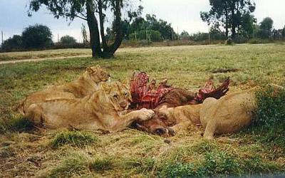 Dead gazelle